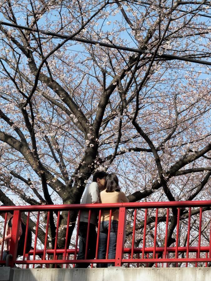 桜坂桜0104
