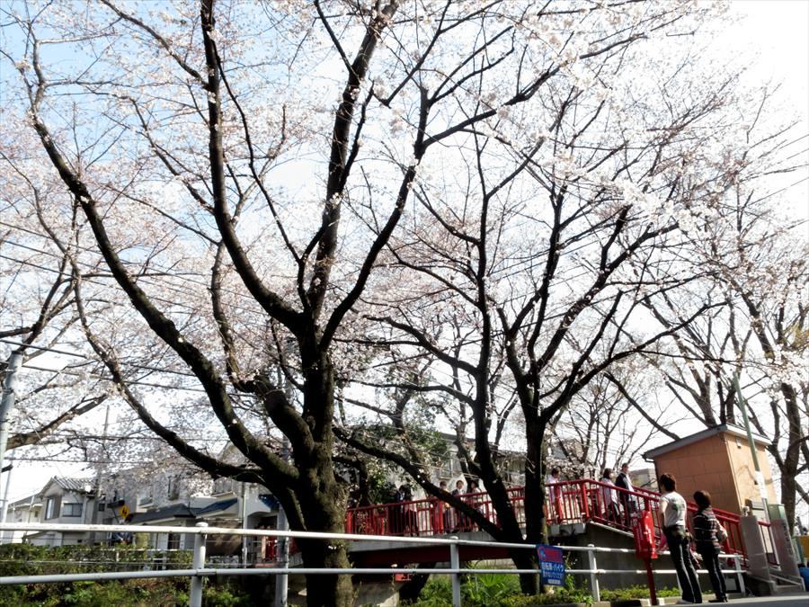 桜坂桜0106