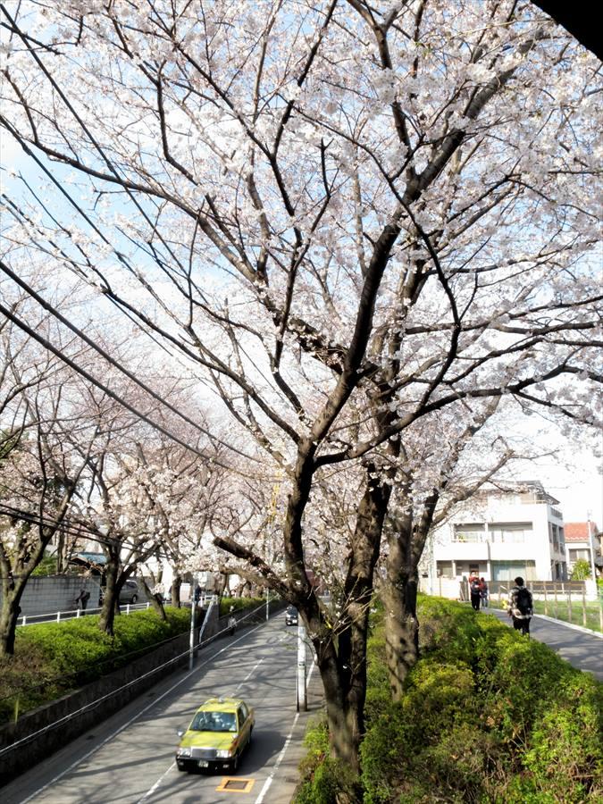 桜坂桜0202