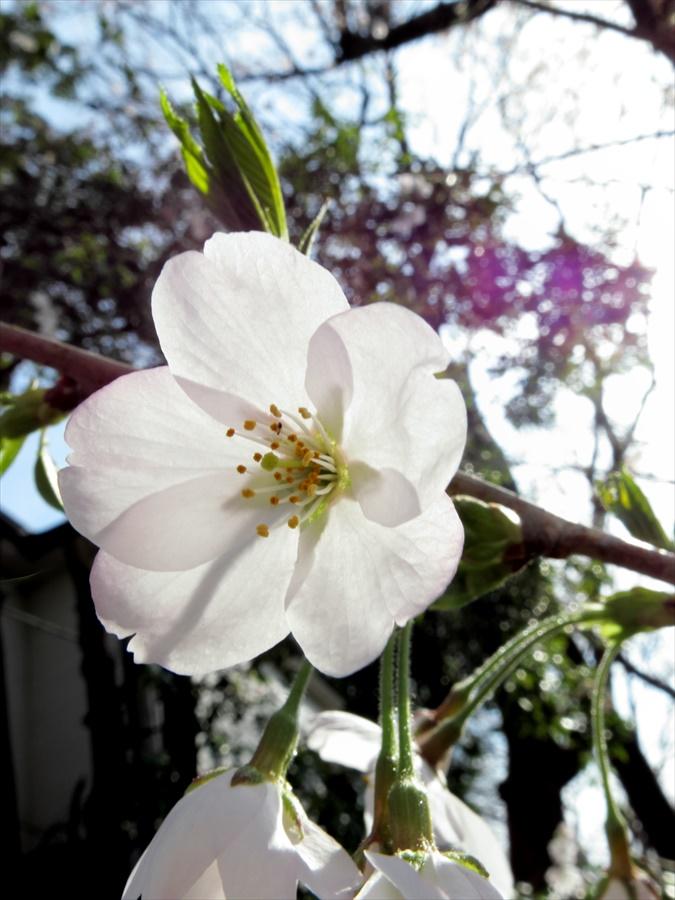 桜坂桜0204