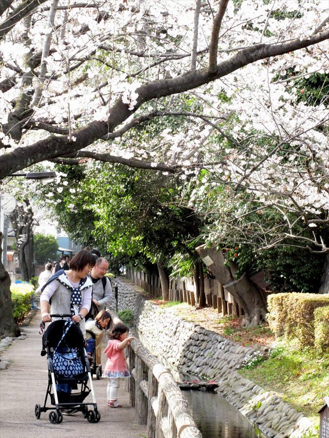 六郷用水桜0103