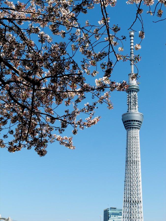 浅草桜0203