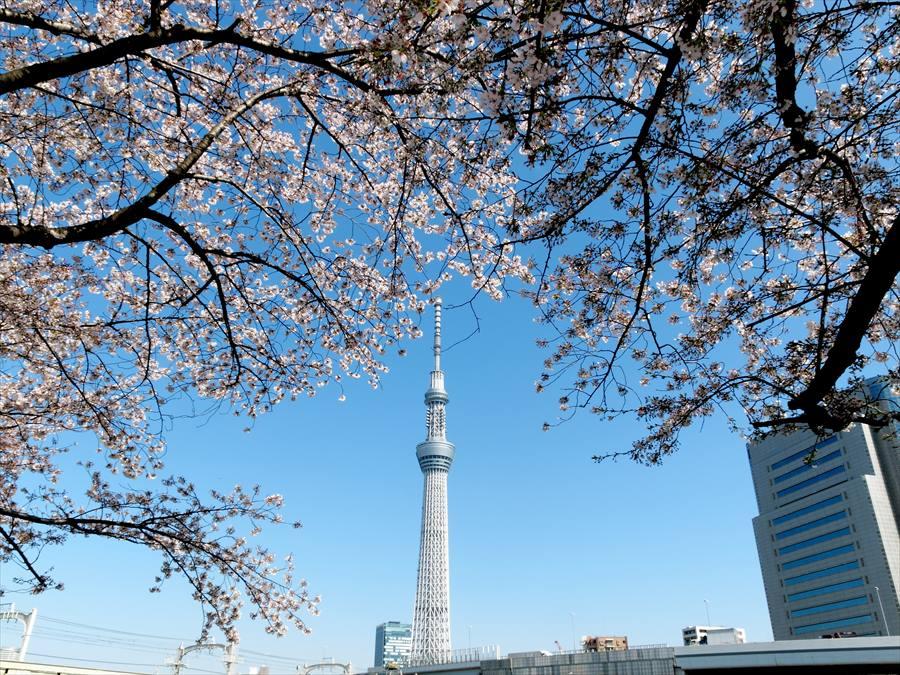 浅草桜0102