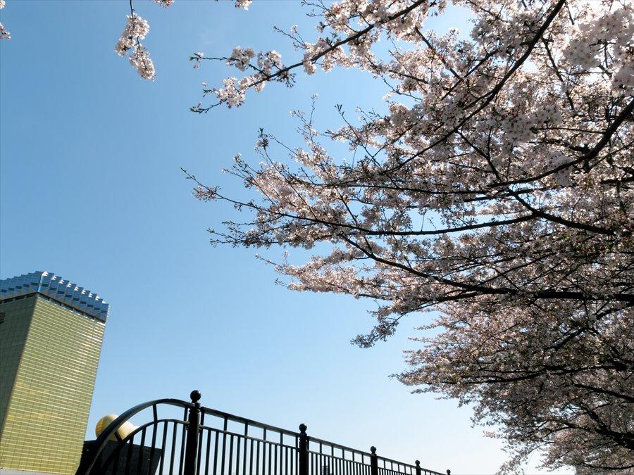 浅草桜0104