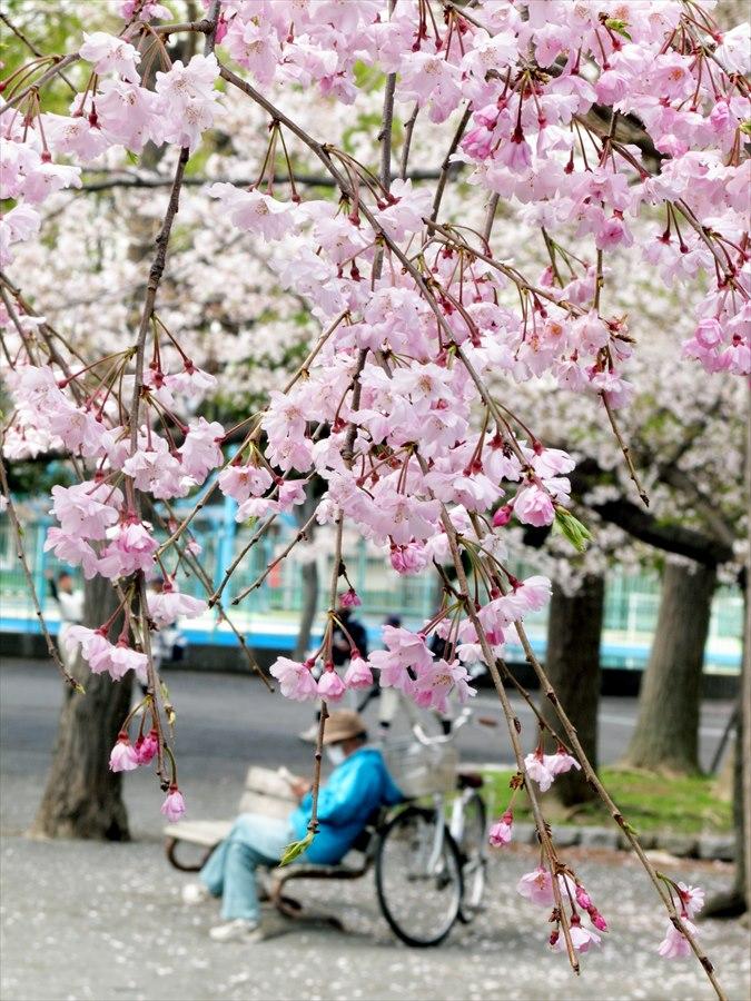 川崎桜02