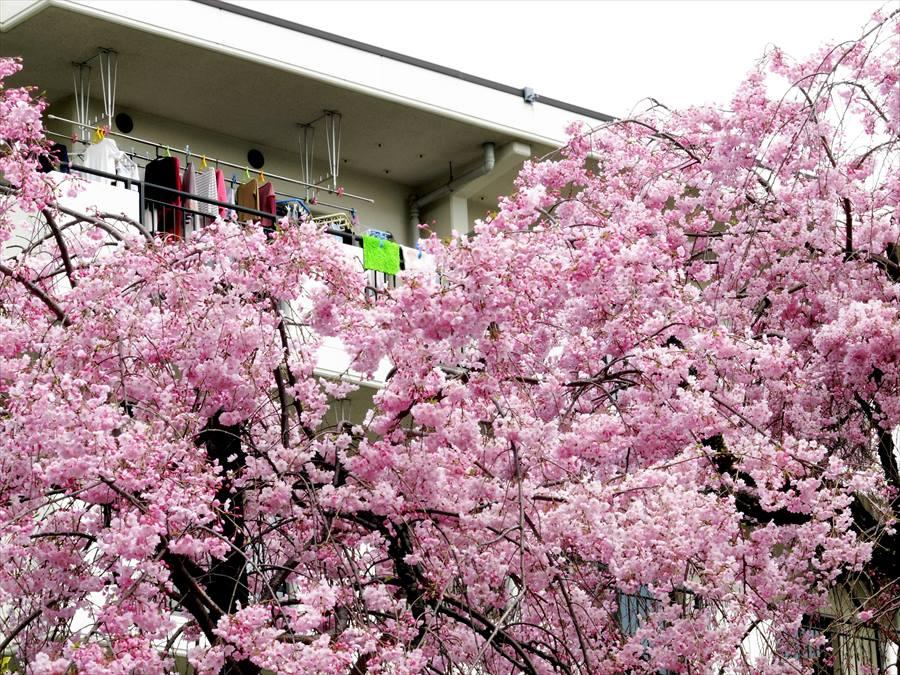 川崎桜06