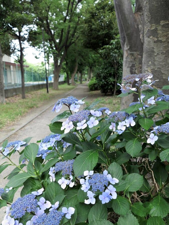 鎌倉紫陽花0102