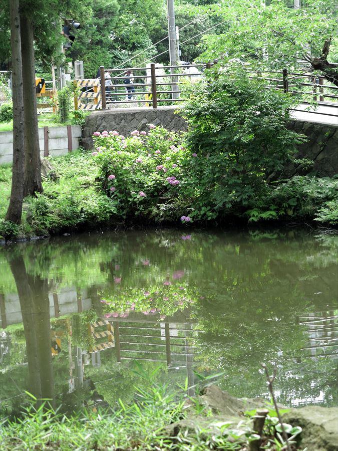 鎌倉紫陽花0104