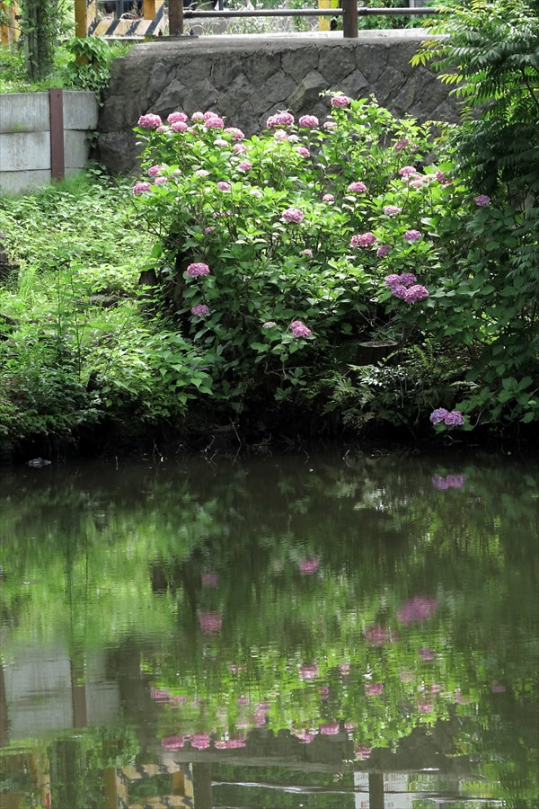 鎌倉紫陽花0105