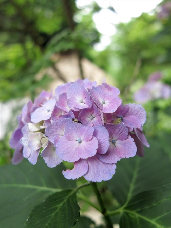 鎌倉紫陽花0203