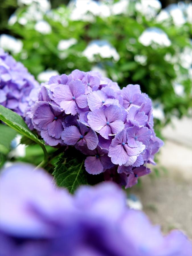 鎌倉紫陽花0302
