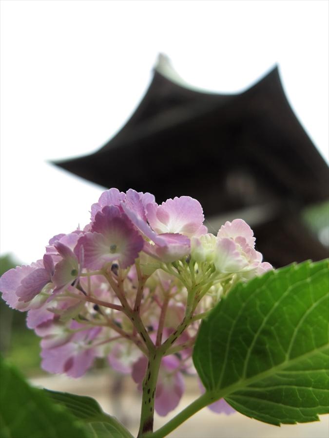 鎌倉紫陽花0301