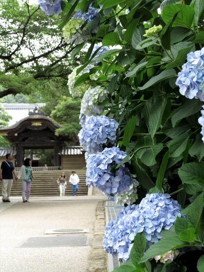 鎌倉紫陽花0401