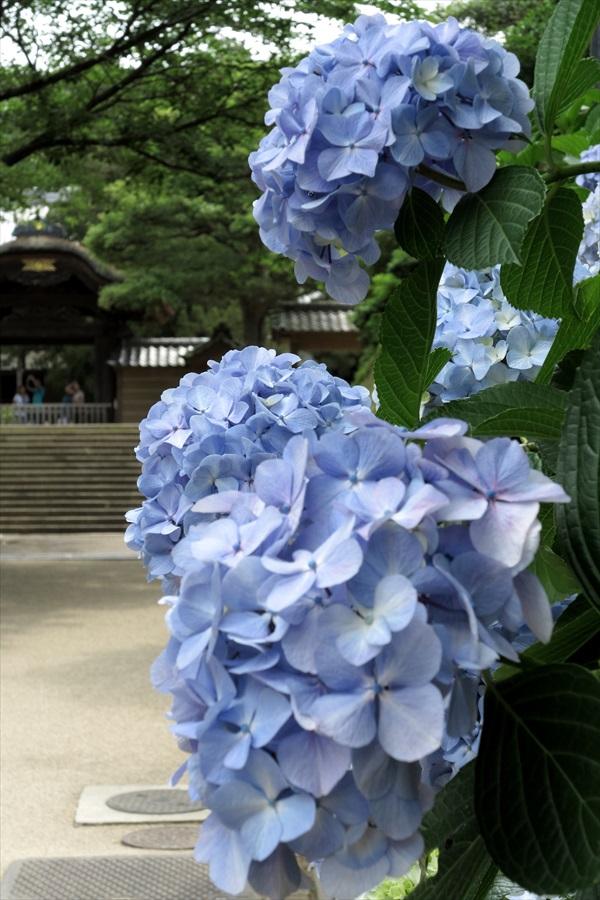 鎌倉紫陽花0402
