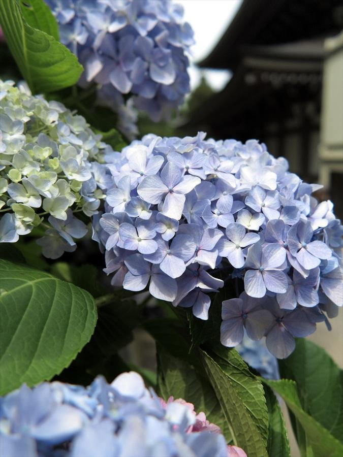 鎌倉紫陽花0404