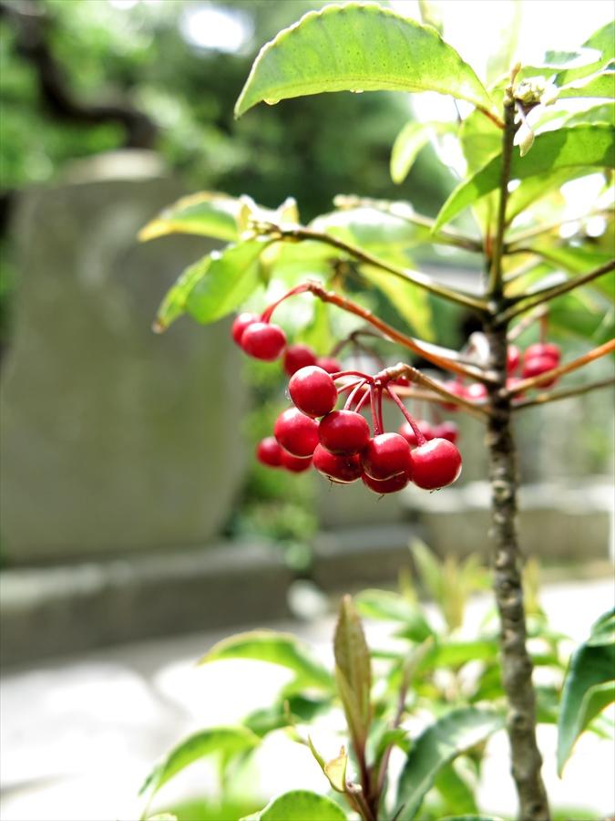 鎌倉紫陽花0509