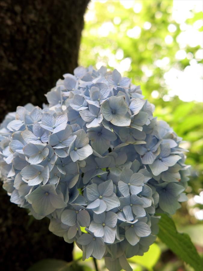 鎌倉紫陽花0605