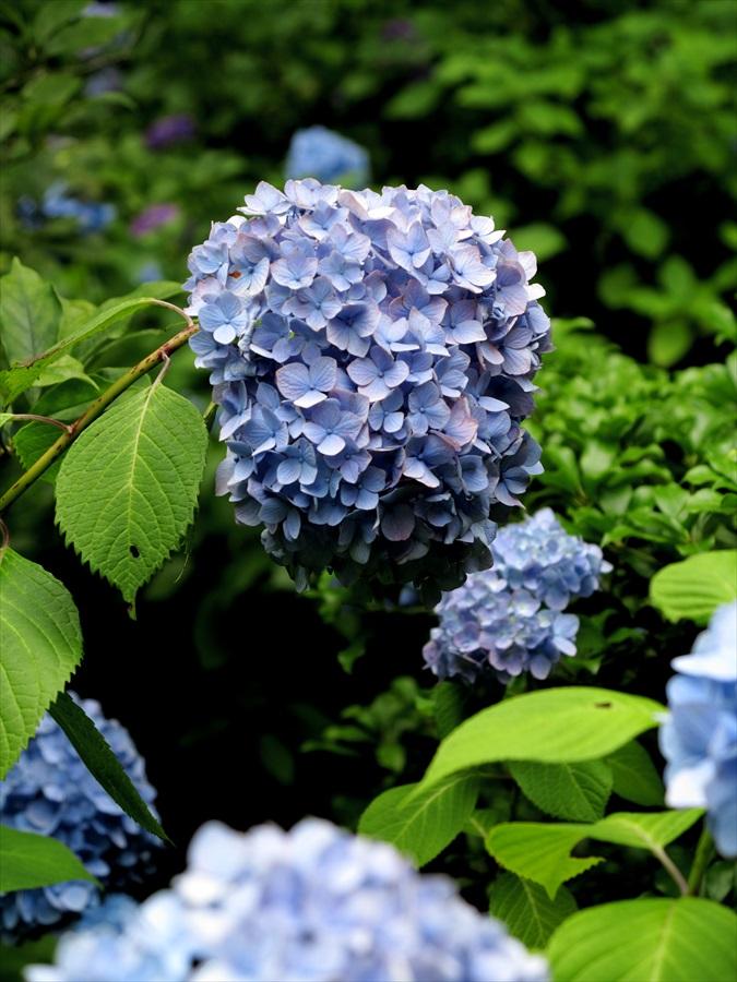 鎌倉紫陽花0803