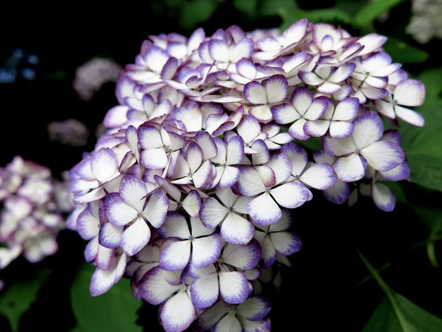 鎌倉紫陽花0806