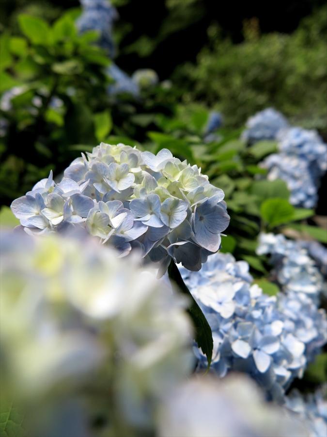 鎌倉紫陽花0807