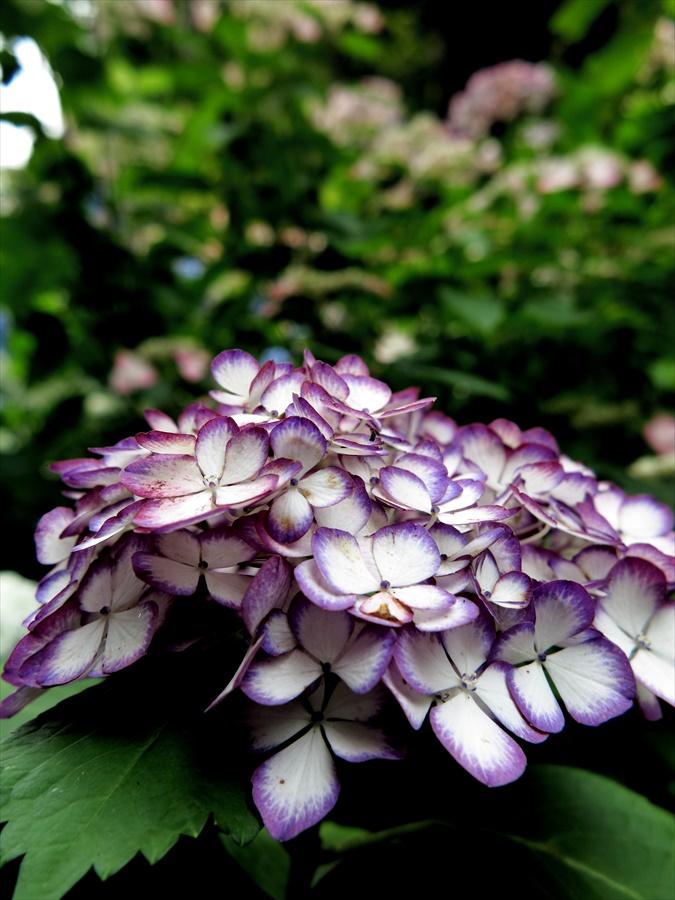 鎌倉紫陽花0809