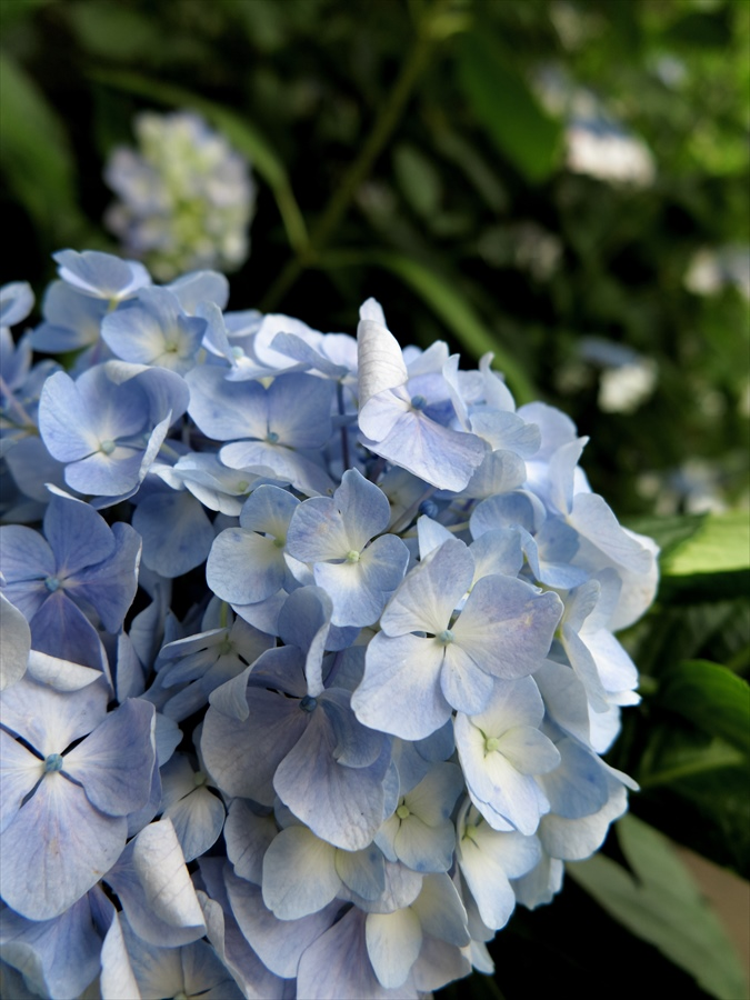 北鎌倉紫陽花0904