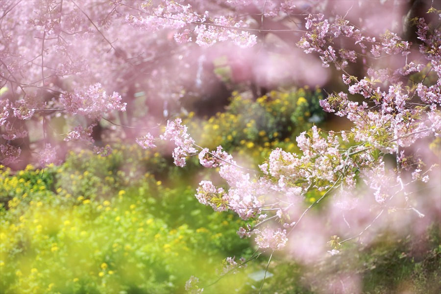 松田山昼間桜0806