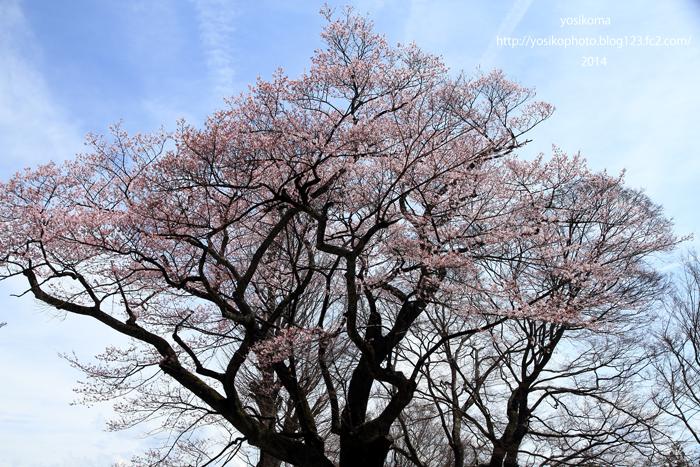 千代蔵桜1