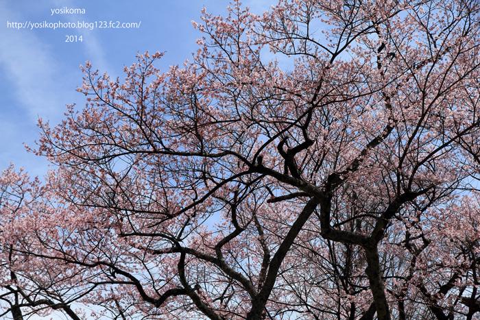 千代蔵桜2
