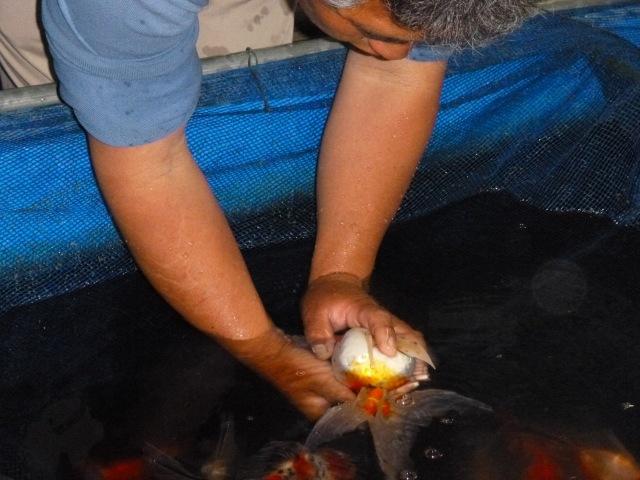 金魚の人工採卵