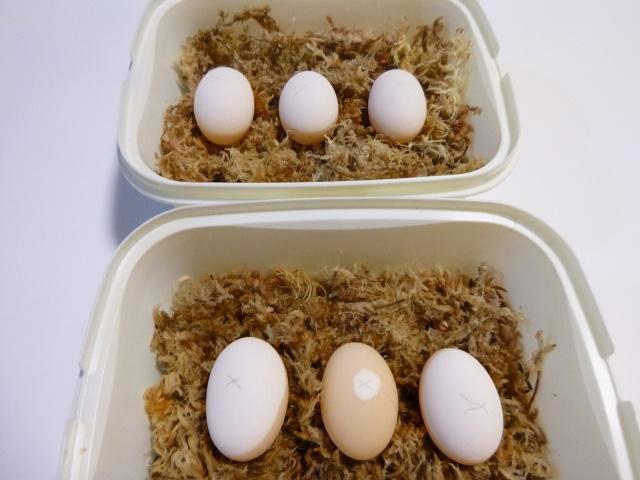 モリイシ卵
