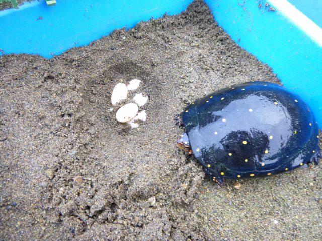 キボシイシガメ