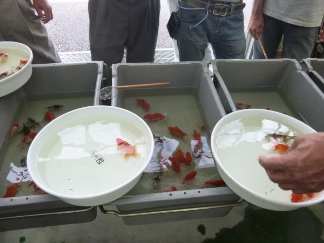 金魚選別会
