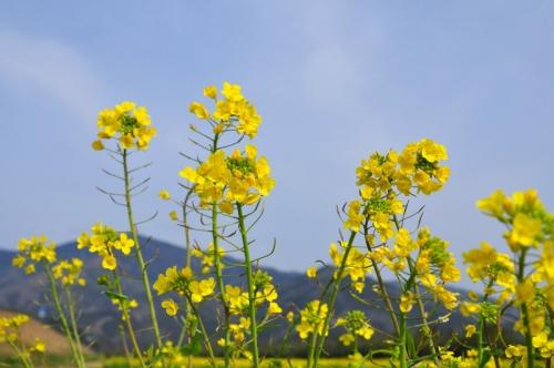 1大洲菜の花14.02.16