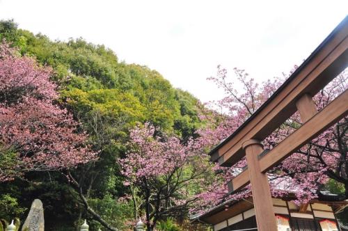 1薄紅寒桜14.03.02