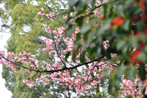 2薄紅寒桜14.03.02