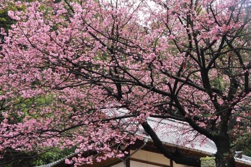 3薄紅寒桜14.03.02