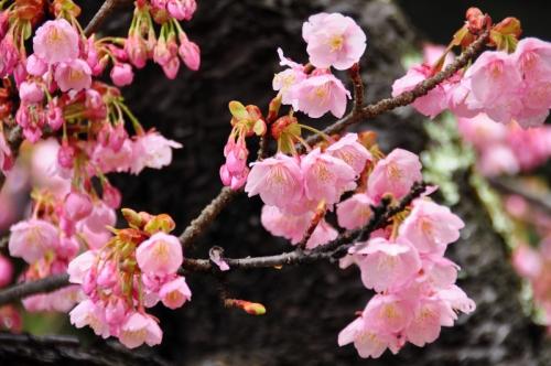 4薄紅寒桜14.03.02