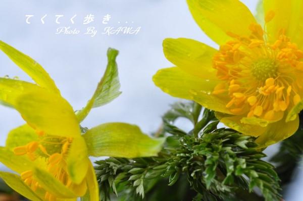 5福寿草20140215