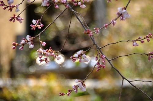 1金龍桜140322