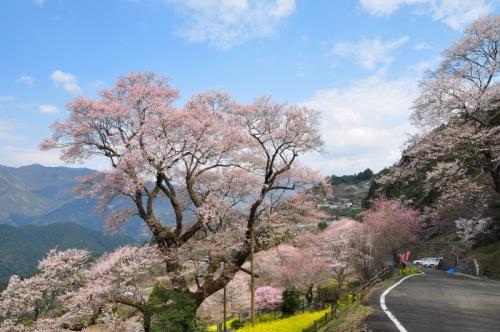 1ひょうたん桜20140325