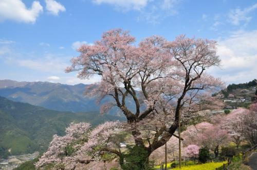 1ひょうたん桜14.03.25