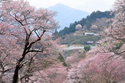 2ひょうたん桜14.03.25