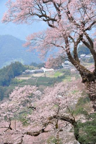 3ひょうたん桜14.03.25