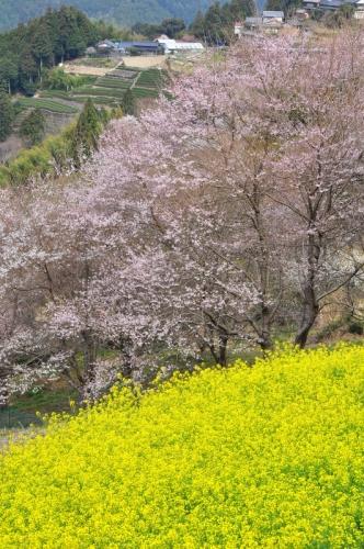 4ひょうたん桜14.03.25