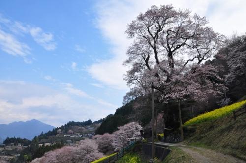 5ひょうたん桜14.03.25