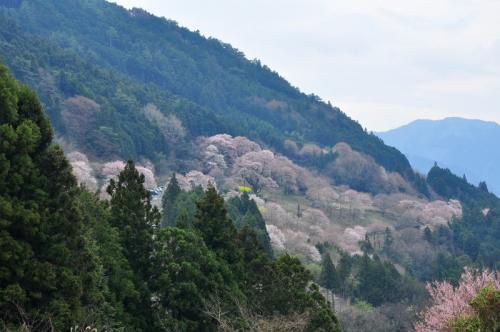 6ひょうたん桜14.03.25
