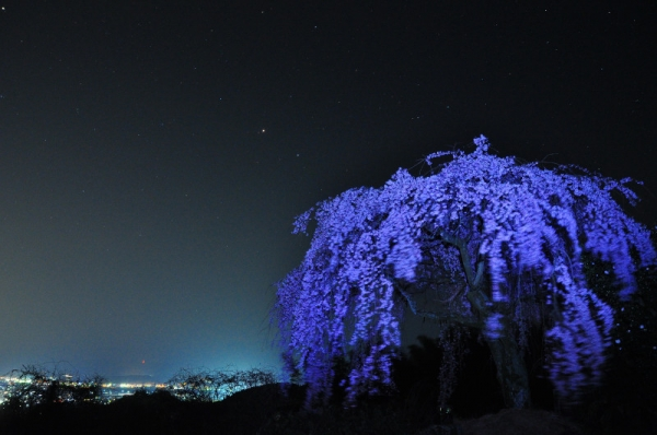 1古田しだれ桜14.03.27
