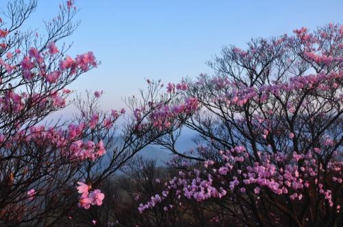 6アケボノツツジ篠山14.04.25