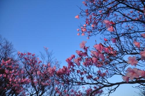 7アケボノツツジ篠山14.04.25